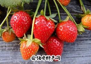 章下洋草莓