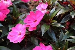 几内亚凤仙花栽培方法