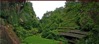 制茶技术——小种红茶制造