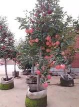 苹果盆栽种植方法