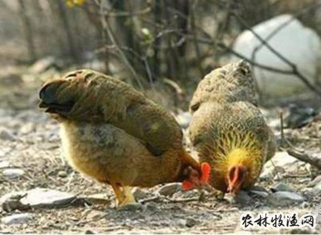 白羽肉鸡助推我国肉鸡产业转型升级