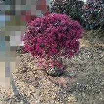 如何修剪红花继木球?红花檵木的修剪方法