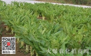 棚种莴苣实现增收方法