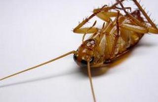 蟑螂的养殖形式和管理
