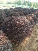 红花继木种植密度一平米几棵
