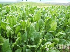 宁波市主要叶菜类蔬菜减肥减药技术取得明显进展