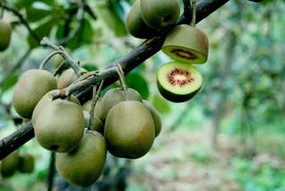 多花猕猴桃根的功效与作用