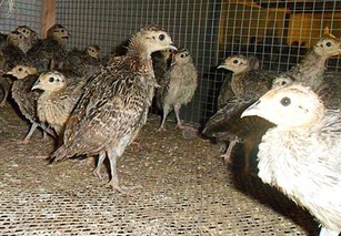 七彩山鸡繁殖期注意啥