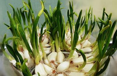 大蒜高产施肥技术