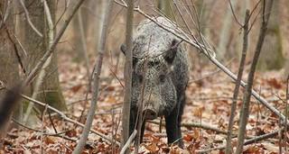 强化家猪野猪非洲猪瘟联防联控