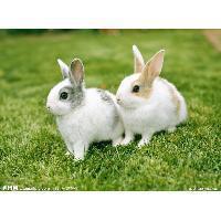 獭兔的最佳取皮时间