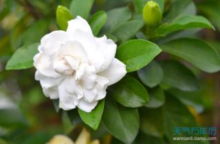栀子花的花语是什么?栀子花的寓意和象征