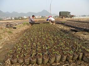 进行番茄水插育苗的具体方法