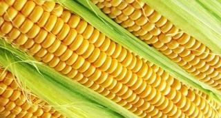 2021山东省玉米价格最新行情走势分析