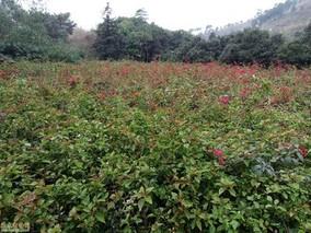 红花杜鹃的功效与作用