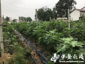 池淮发展无花果产业富农