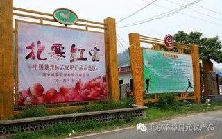 北京万亩北寨红杏成熟待采