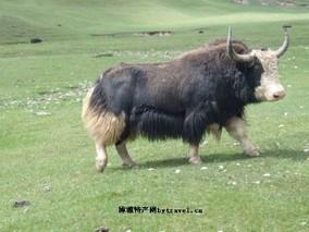 西藏高山牦牛