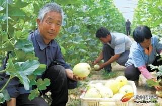 姜楼镇:大棚甜瓜丰收了