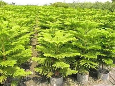 南洋杉盆景怎么养?南洋杉盆景的养殖方法