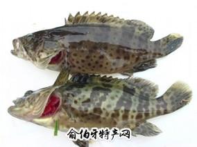 钦州石斑鱼