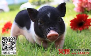猪疥螨的症状及综合防治方法
