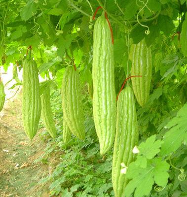 苦瓜稀植种植技术
