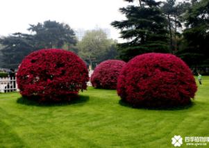 红花继木怎样栽培?红花继木种植时间要点