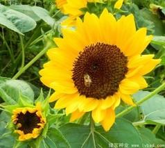 向日葵种子怎么种?向日葵种子种植方法