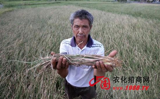 水稻生产如何规避高温热害