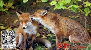狐狸黄脂肪病的防治