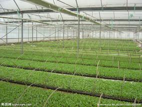 北京水果型甜椒工厂化生产育苗工作进展顺利