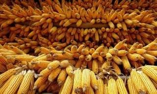 1663.25公斤!我国玉米亩产再创新高