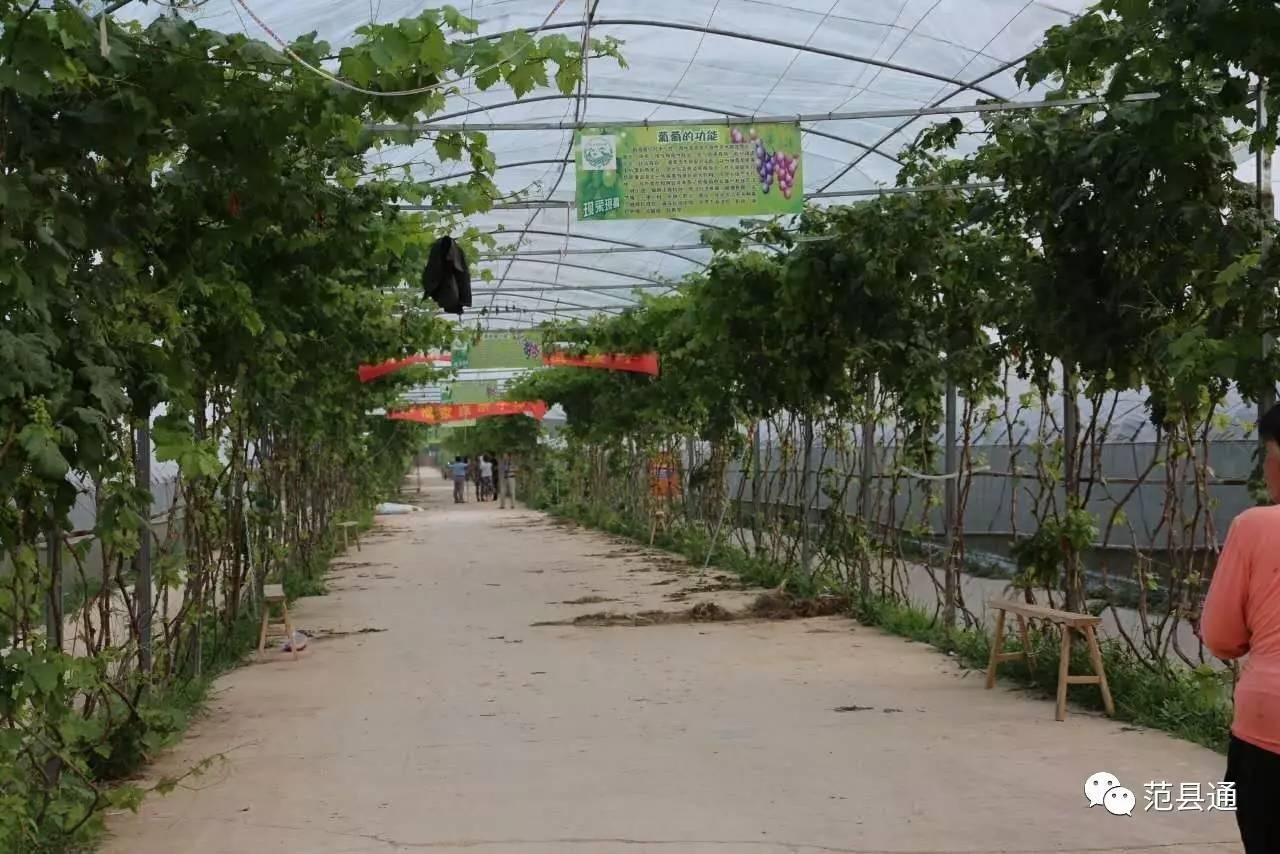 山东莱州:大棚葡萄助力贫困村脱贫致富