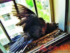 合肥:冻坏的小斑鸠飞不动了
