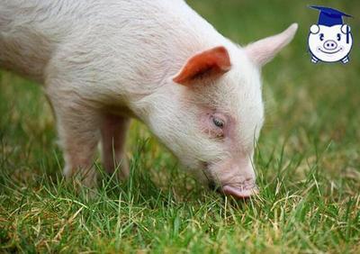 六种猪中毒症的治疗办法