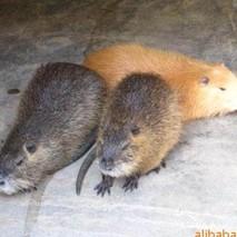 夏季海狸鼠的饲养管理