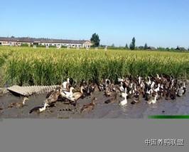 塑料大棚棚架养鸭技术