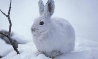 雪兔(别名:白兔,变色兔,兽纲兔形目兔科)