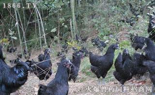 绿壳蛋鸡的饲养价值如何
