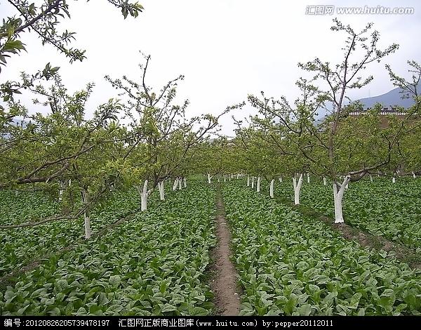 梨园套莴苣 节地增高产