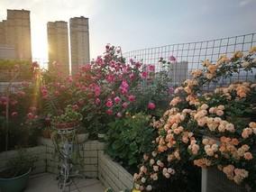 浅谈月季 开花与温度的关系