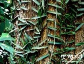 石蜈蚣的功效与作用