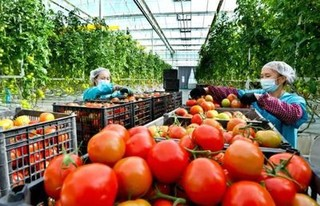 北京4个规模化温室蔬菜车间投用