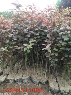 红叶李什么季节栽植好?红叶李栽植要点