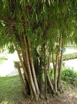 观赏竹类的繁殖栽培技术