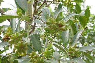 八角树几年结果