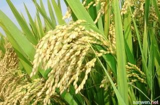 水稻田间化学除草技术要点