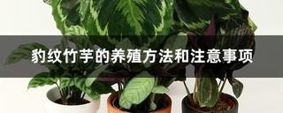 豹纹竹芋怎么养?豹纹竹芋的养殖方法和注意事项