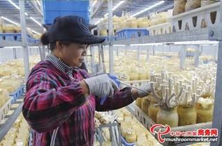 江苏:食用菌新品种鹿茸菇已开始采摘
